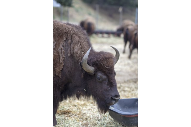 American Bison at the Hart