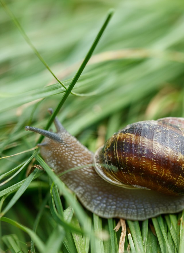 Photograph of a snail on grass