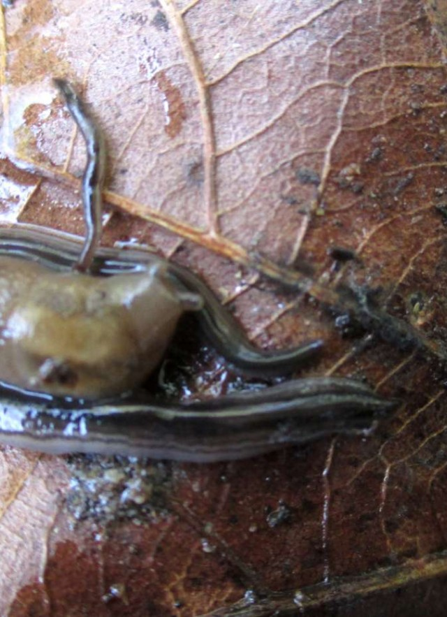 Ambigolimax slug nestled between two land planarians