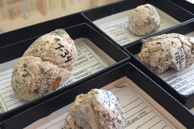 A few of the six-million-year-old coprolites (fossilized feces) of extinct bone-crushing dogs; the one on the right has visible bits of bone sticking out. (Ouch.)