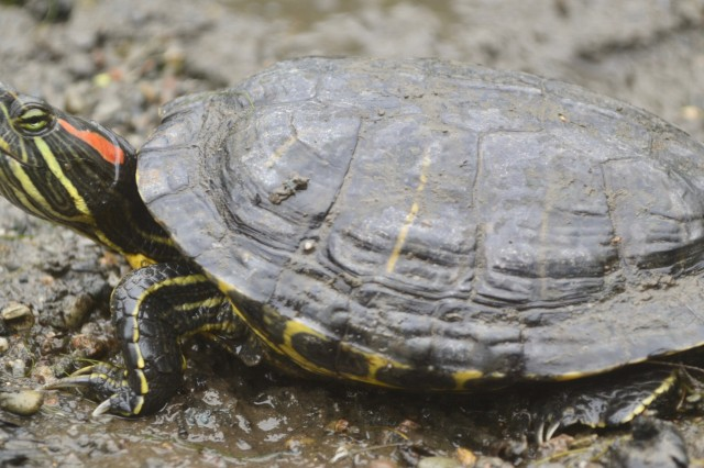Red-eared slider A.Clause