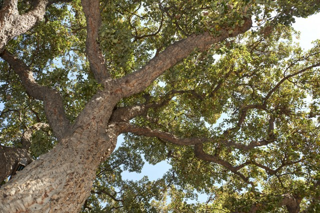 looking up into the branched of a cork oak tree