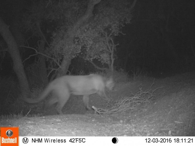 mountain lion at night