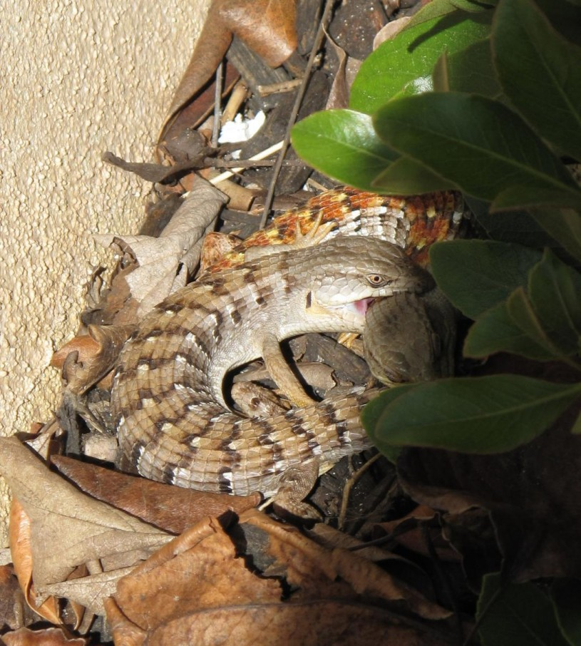 pair of alligator lizards in San Marcos, CA