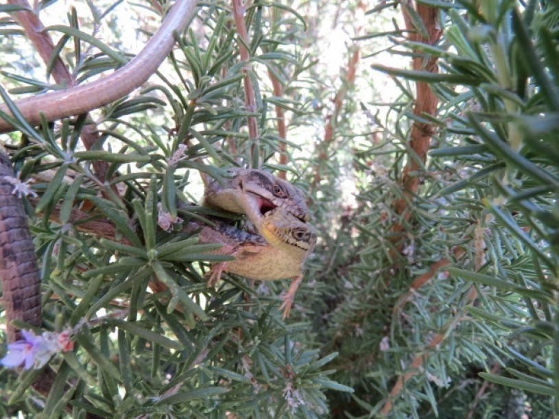 Two alligator lizards about 3 feet off the ground in a rosemary bush