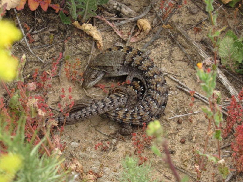 Pair of alligator Lizards in La Jolla