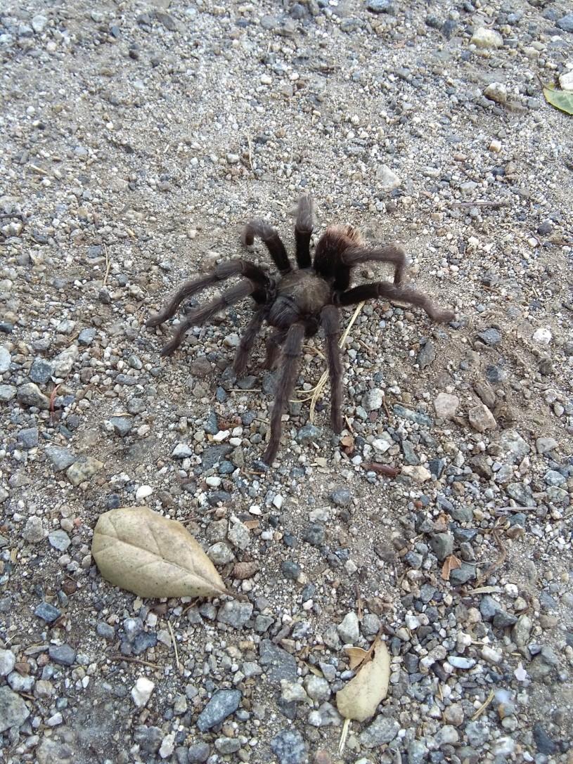Tarantula on the trail