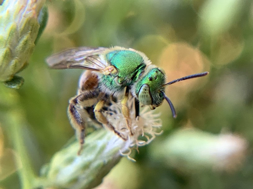 Metallic green bee on a Baccharis flower