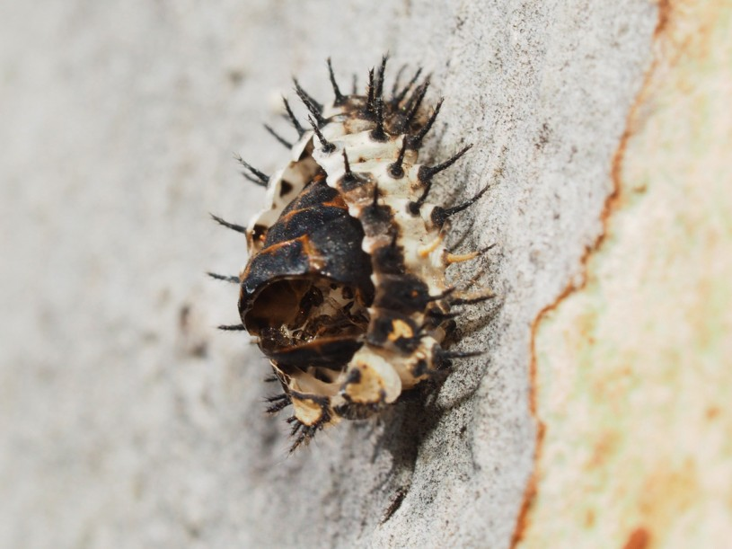 Ladybug, pupa, spiky, skin