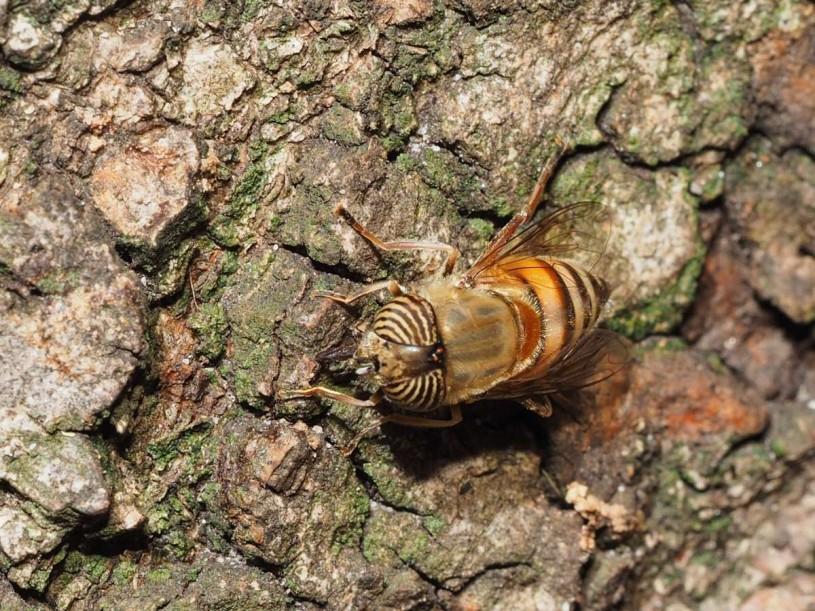 Stripes, bark, fly, NHMLA