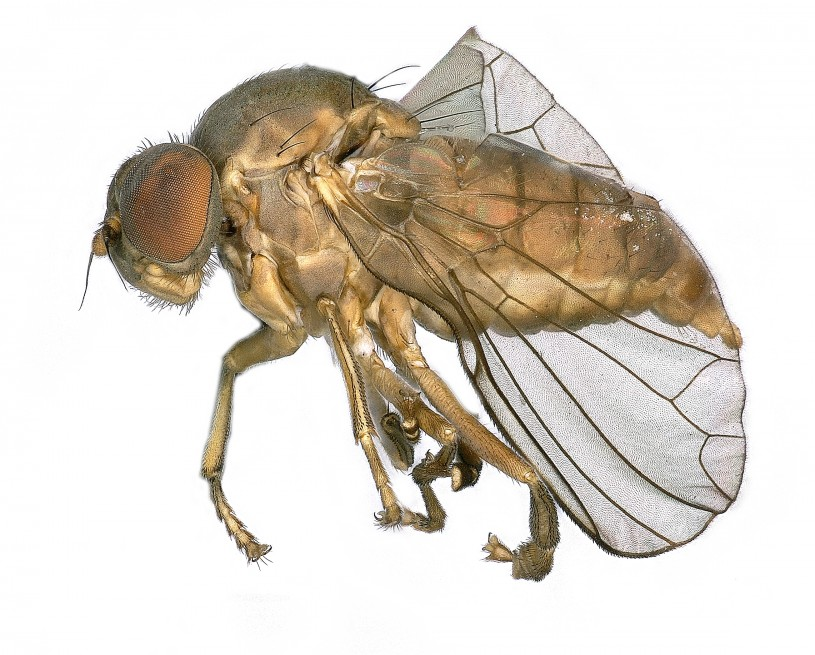 close up of flat footed fly