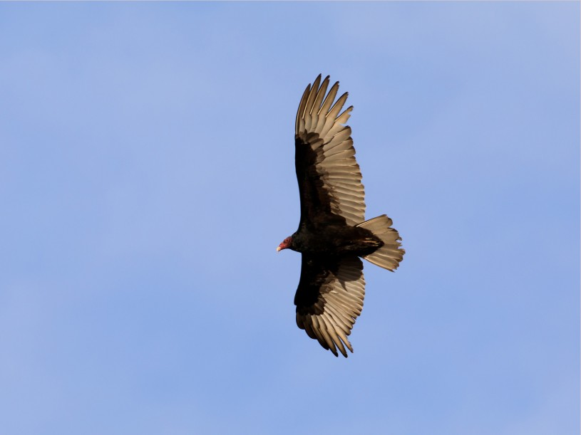 Turkey vulture soaring from afar below
