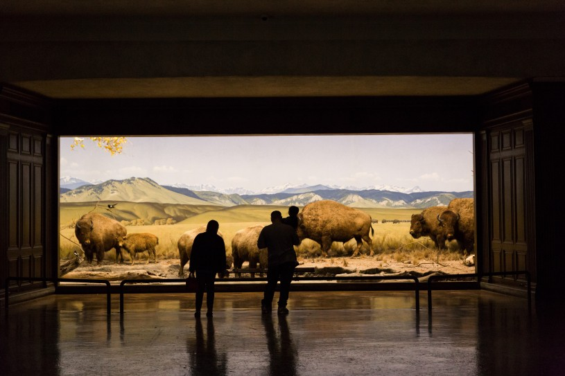 Visitors contemplate the bison diorama NHM