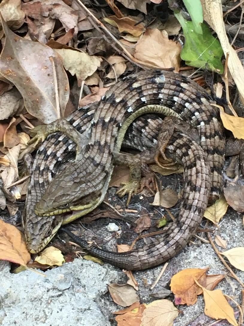 alligator_lizard_coitus_2021_inat_user_danna_santos