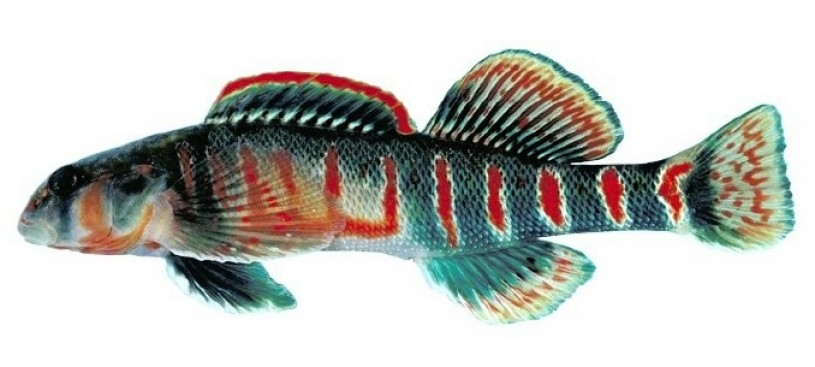 candy_darter_-_etheostoma_osburni