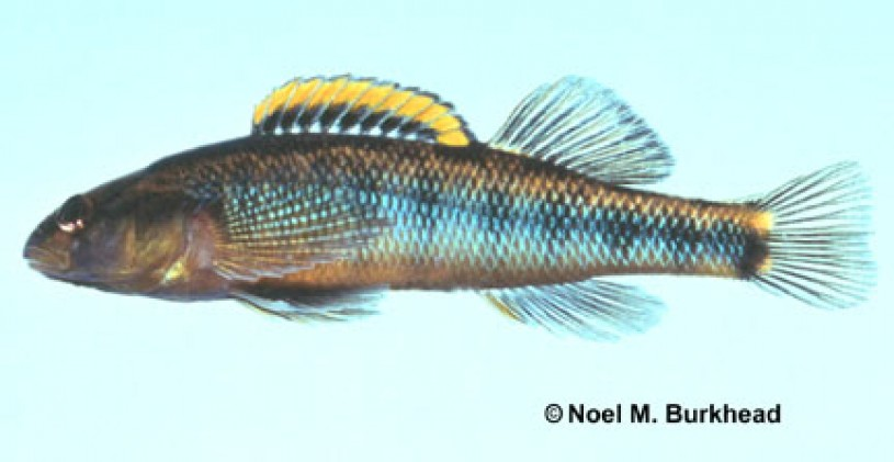 Roanoke Darter - Percina roanoka