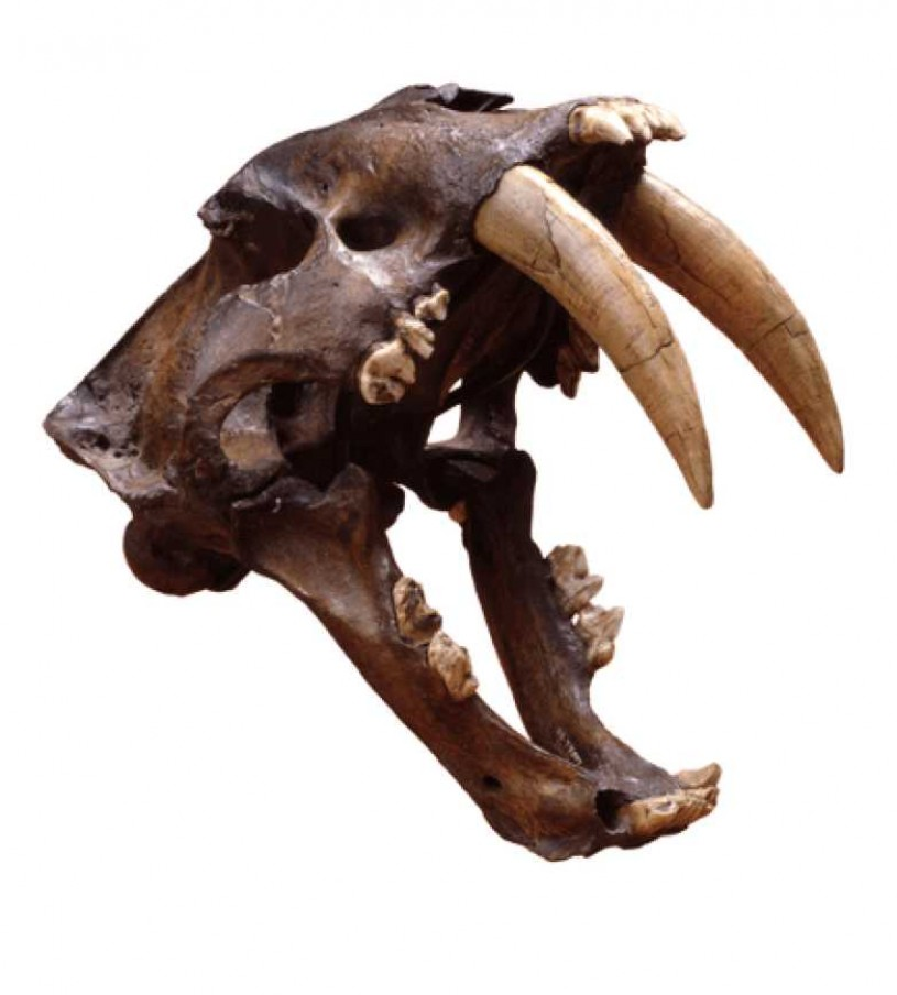 Saber-toothed cat skull with jaws open, demonstrating the length of the canine teeth.