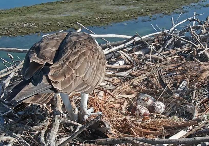 Osprey and eggs on nest