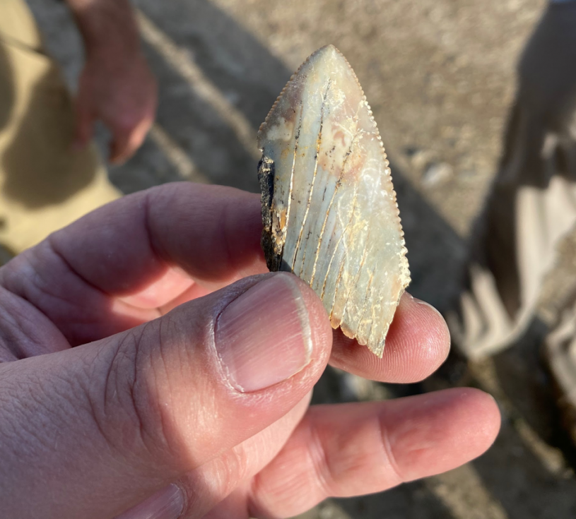 Great White shark tooth