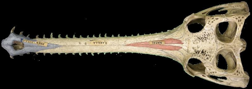gharial skull