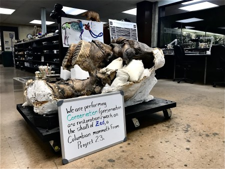 Mammoth skull on display in a lab
